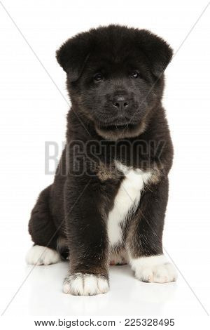 American Akita Dog Puppy Sits On White Background