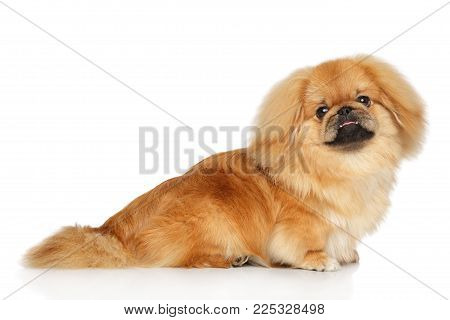 Pekingese Dog On White Background