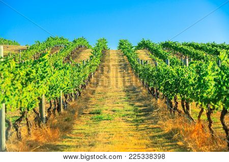 Seasonal background. Vineyard with rows of white grapes in the scenic landscape of Wilyabrup in Margaret River the famous Wine Region in Western Australia where wine tasting tours are popular.