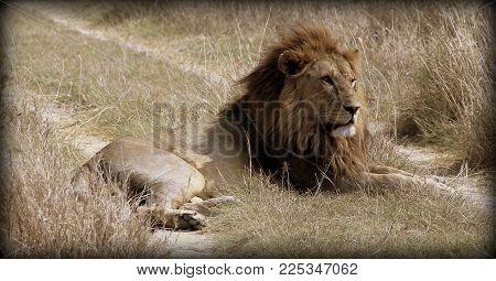 Lion in the African sabana, in Tanzania