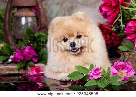 Pomeranian Spitz and Roses