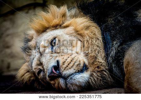 Male of predator Asiatic lion (Panthera leo persica) relaxing. Wildlife animal.