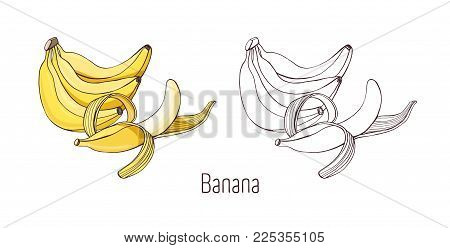 Colored and outline monochrome drawings of unpeeled and half peeled banana. Bunch of delicious sweet tropical fruit of cultivated plant hand drawn in elegant style. Natural vector illustration