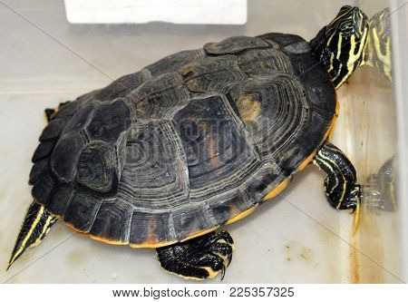 yellow bellied slider turtle in plastic crate container