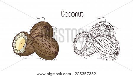 Monochrome contour and colorful drawings of coconut. Whole and split in cross section ripe fruit or drupe with aromatic flesh isolated on white background. Botanical hand drawn vector illustration