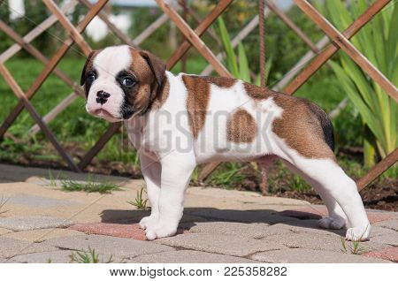 Funny nice red white coat American Bulldog puppy is walking on the road. Puppy's acquaintance with nature. Dog puppy is afraid and interested in the world around him