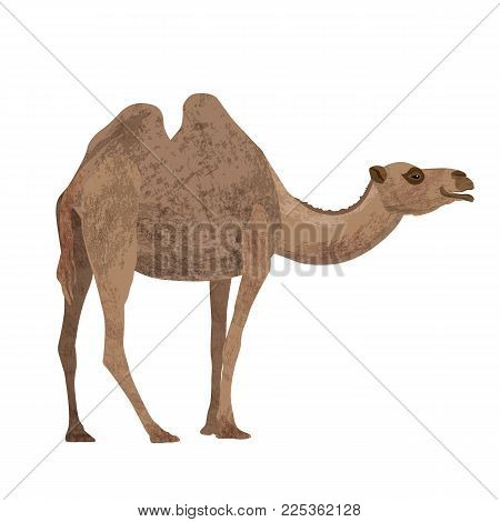 Flat trendy design two-humped camel . African animal wildlife vector illustration isolated on white background.