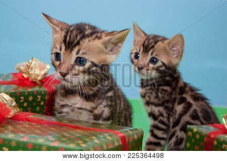Two cute bengal kittens is sitting near the New Year's gifts. Traditional holidays. Pet animals.