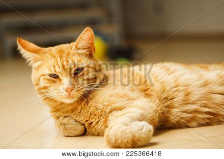 Cute red careless cat with long ears looking at camera laying on floor. Favourite domestic pet has rest, fluffy feline with green eyes