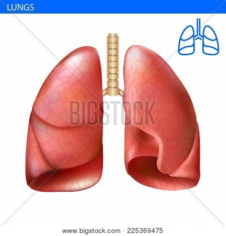 Human Lungs Anatomy Realistic Illustration Front View In Detail. Lunge Exercise. Right And Left Lung