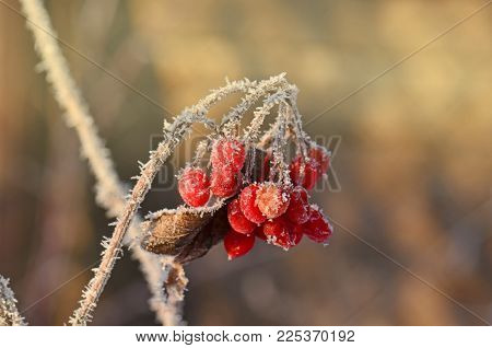 Winter Frozen Viburnum. Red Berries Of Viburnum.