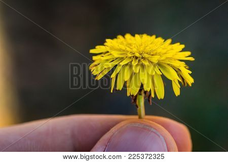 A Closeup Of A Dandelion Flower Being Held