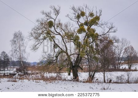 Winter Scenery With Tree Covered With Mistletoe In Soce Village, Podlasie Region Of Poland