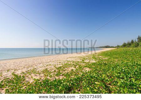 Ipomoea Pes -caprae On White Sand Beach.