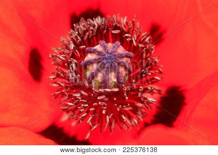 beautiful flower of red poppy. pistil and stamens. Ripening