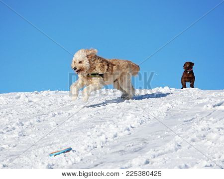 two dogs playing in the snow, a golden doodle and a chocolate lab puppy watching on the hill top on a sunny winter day