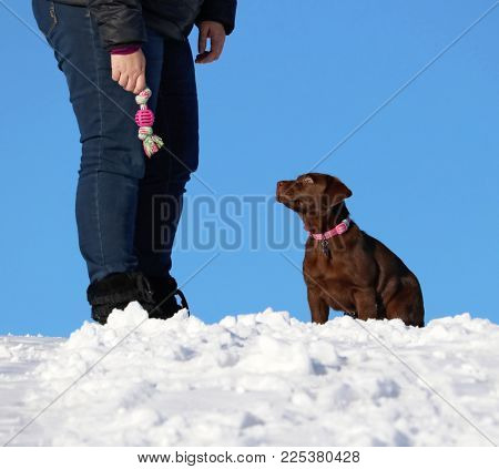 cute chocolate labrador puppy sitting outside in the snow with his owner holding a toy on a sunny winter day