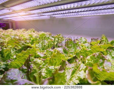 Organic hydroponic vegetable grow with LED Light Indoor farm,Agriculture Technology