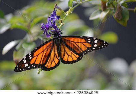 Captivating View of a Orange and Black Viceroy Butterfly