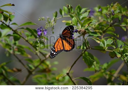 Breathtaking View of a Beautiful Orange Viceroy Butterfly