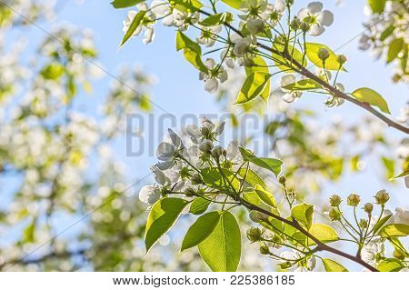 Flowering Branches Of Pear-tree In A Spring Garden On The Background Of Blue Sky, Backlight.  Select