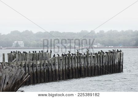 Cormorants standing on old wooden pier in the ocean in Prince edward island in Canada