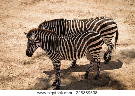 Zebra Equus quagga standing in some shade on a hot dry day.