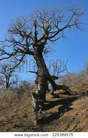 Aged Tree On The Rocky Ground In Crimea. Naked Roots Created An Image Of A Walking Tree.