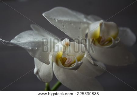 a beautiful white orchid on the rise on a wooden background
