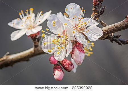 Flowering Branch Of Apricot-tree In A Spring Garden On A Blurred Gray Background, Macro.  Selective