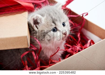 Little Curious Grey Fluffy Kitten Looking From Decorated Cardboard Birthday Box Being Cute Present F