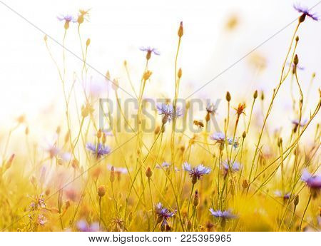 Rays of the setting sun on blue flowers- meadow flowers