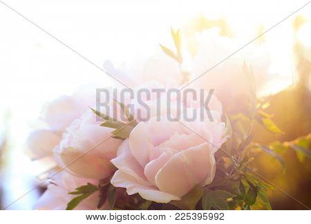 Pink blossom peonies in the garden. Blooming pink peonies spring flowers.