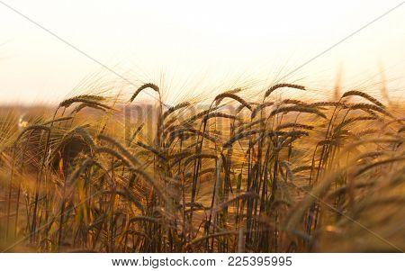 Wheat field.Yellow wheat ears field background.