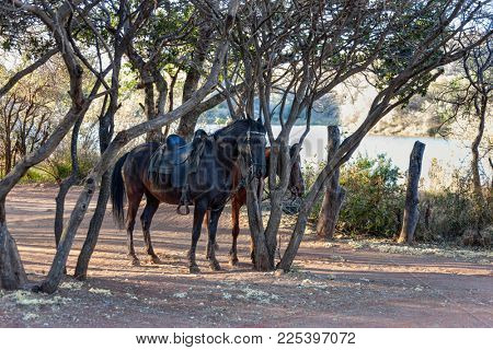 Two saddled horses in the typical African bush near the lake