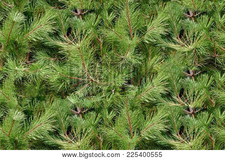 Background Of Beautiful Conifer Evergreen Christmas Tree Branches, Seamless Tiling Texture