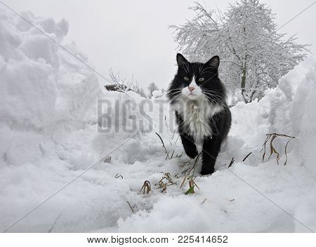 A Terrible Cat On The Winter Trail. Black And White Cat With A Serious Look. Portrait Of A Cat