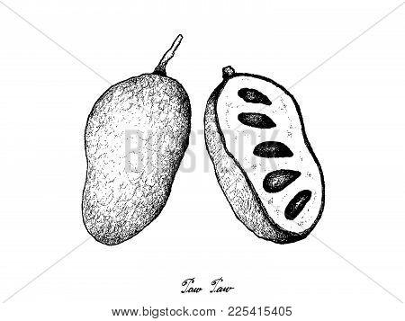 Fresh Fruits, Illustration Of Hand Drawn Sketch Paw Paw Or Asimina Triloba Isolated On White Backgro