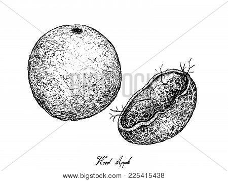 Tropical Fruits, Illustration Of Hand Drawn Sketch Fresh Wood Apple Or Limonia Acidissima Fruit Isol