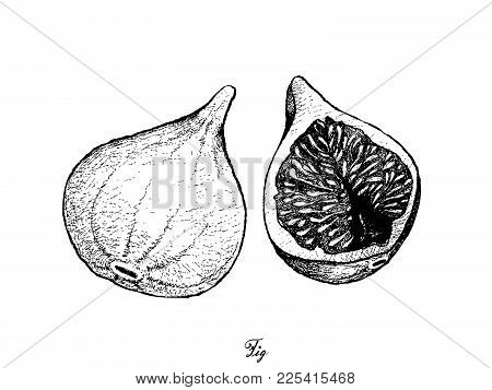 Fresh Fruit, Illustration Of Hand Drawn Sketch Delicious Fresh Figs Or Ficus Carica. One Of The Most