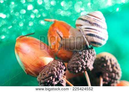 Helix Pomatia Also Roman Snail, Burgundy Snail, Edible Snail Or Escargot, Is A Species Of Large, Edi