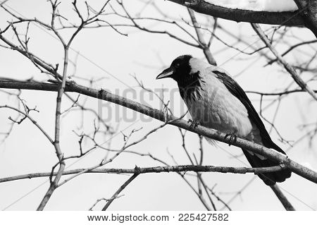 Black Raven Bird Sitting On A Snow-covered Branch. Soft Focus. Shallow Depth Of Field.