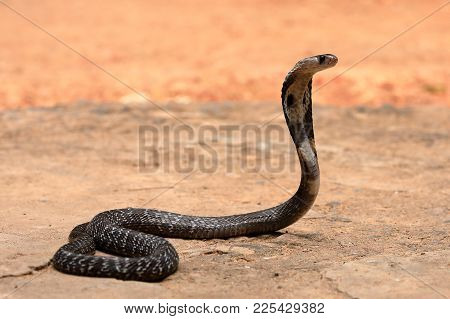 A South Asian cobra in Sri Lanka
