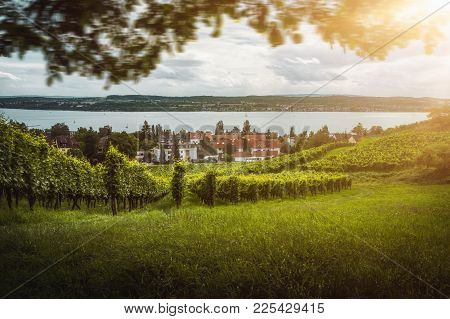 Beautiful Vineyards With Grapes In Front Of Lake Of Constance