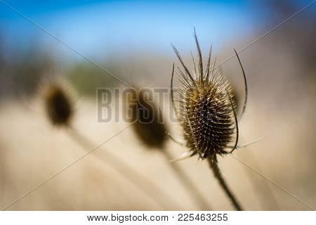 A Bouquet Of Dry Teasel Blooms In A Field In The Fall, With A Shallow Depth Of Field.