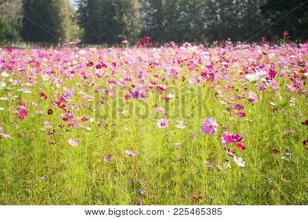 Blooming Pink Cosmos Flowers
