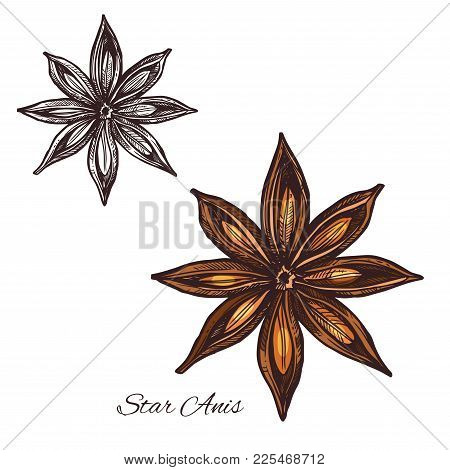 Star Anise Sketch Of Badian Spice Cooking Ingredient. Anise Fruit With Seed Isolated Icon For Food S
