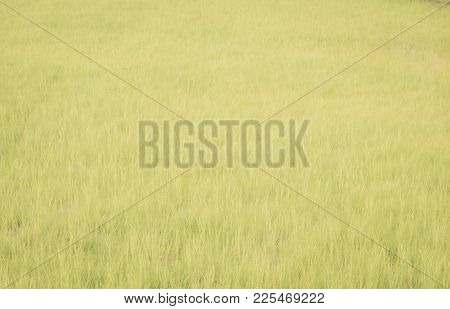 Beautiful View Of Rural Green Rice Field Background At Nakhon Nayok Province, Thailand.