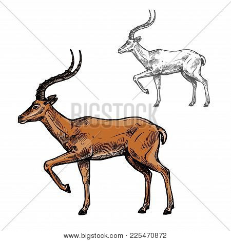 Gazelle Or Antelope Sketch Of African And Indian Wild Mammal Animal. Brown Antelope With Curved Horn