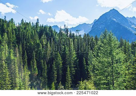 Spruce Forest On A Hill Side Meadow In High Mountains